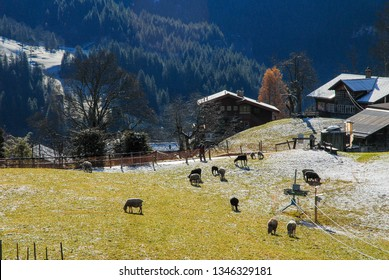 Pasture and Sheeps in autumn, Grindelwald, Berner Oberland, Canton of Bern, Switzerland