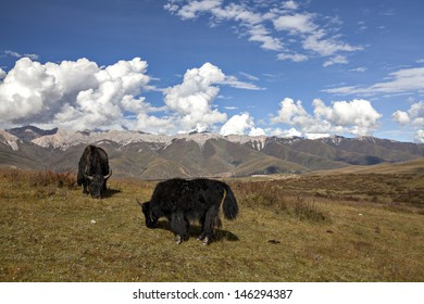 the pasture and the yaks under  the blue sky with  white cloud.
