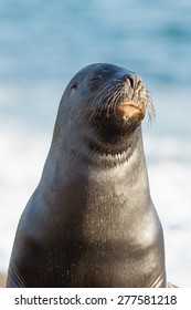 patagonia sea lion portrait seal on the beach