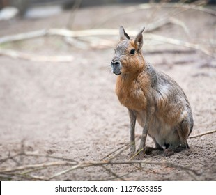 Patagonian Cavy Mara (Dolichotis patagonum) sitting on the sand and resting, watching for danger