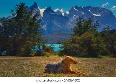 Patagonian fox enjoying her siesta.