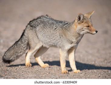 Patagonian  Grey Fox (Dusicyon culpaeus) in desert landscape.