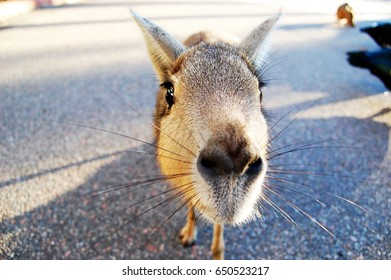 Patagonian Mara close up at Zoo, Argentina. South American animals. Curious animals posing to a camera. Big rodents. Don't feed the animals
