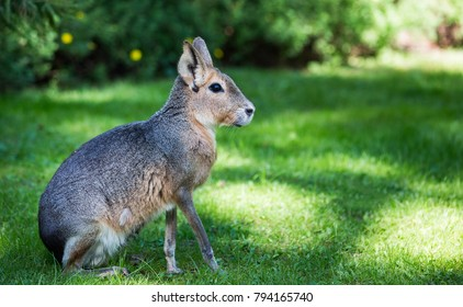 Patagonian mara (Dolichotis patagonum) is a relatively large rodent in the mara genus (Dolichotis). It is also known as the Patagonian cavy, Patagonian hare or dillaby.