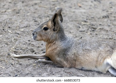Patagonian mara  lays, rests and looks around