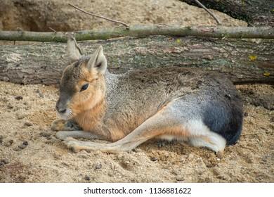 Patagonian Mara lying on a sandy ground.