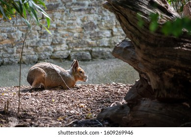 A patagonian mara sits and waits
