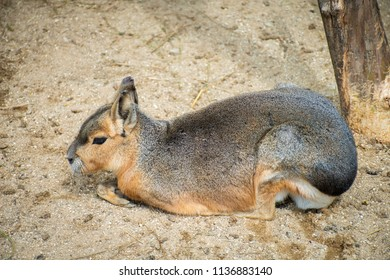 Patagonian Mara sitting with crossed forelegs on a sandy ground.