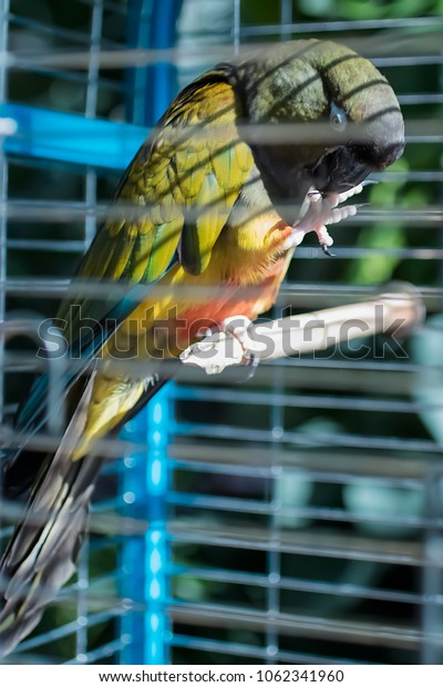 Patagonian parrot in cage. Soft focus.