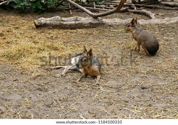patagonian-rabbits-guinea-pigs-600w-1184