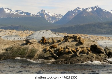 Patagonian sea lions (Otaria flavescens) sunbathing in the middle of the Beagle channel, Tierra del Fuego, Argentina