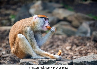 Patas Monkey or Erythrocebus patas eats bread in captivity