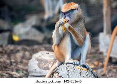 Patas Monkey or Erythrocebus patas eats fruit in captivity