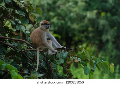 The patas monkey (Erythrocebus patas) sitting on a branch, Mole National Park, Ghana.