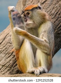 Patas Monkey Looking in a Mirror