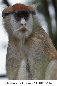 """The Patas Monkey reminds me of a Beatnik from the 1950s, or a French Intellectual--beret, moustache, even """"dark glasses"""" forr the eyes."""