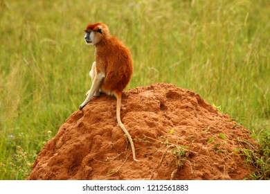 A Patas monkey sits on a rock thinking.