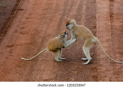 The patas monkeys (Erythrocebus patas) playing on a road, Mole National Park, Ghana.