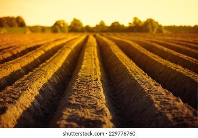 Patato field