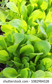 Patch of baby green romaine lettuce growing in a row garden