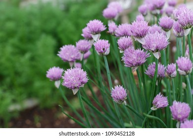Patch of Blooming Chives in Herb Garden
