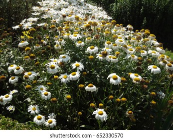 A patch of daisies on a sunny day at Borde Hill Garden. West Sussex, England, The United Kingdom.