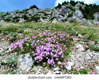 Patch of pink flowering  Dianthus sternbergii flowers growing on a rocky alpine slope with step slopes in the back in the Karavanke mountain range (Slovenia)