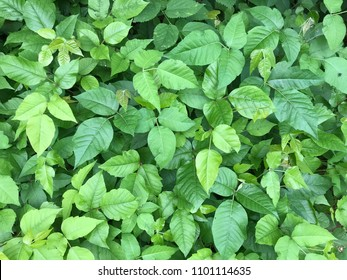 Patch of Poison Ivy