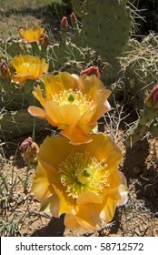 patch of prickly pear cactus, dark golden flowers