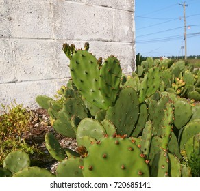 A patch of prickly pear cactus growing wild in an empty lot in front of an old cinder block wall by the side of a country road.