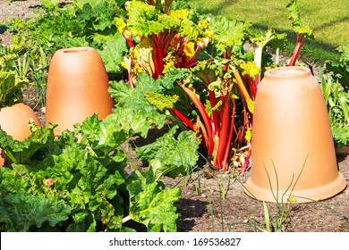 A patch of rhubarb with clay forcing pots