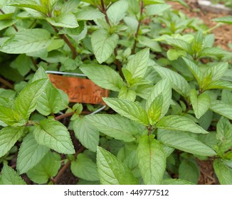 A patch of spearmint growing in an herb garden with a copper plant marker overgrown with lush mint foliage.