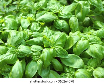 Patch of sweet green basil.