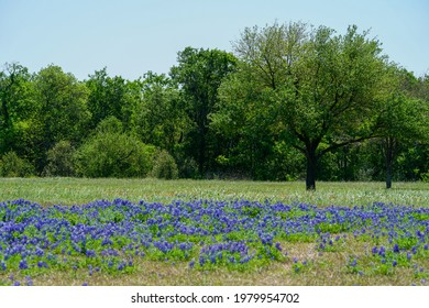 Patch of Texas bluebonnet wildflowers and a tree during spring season in the city of Brenham, TX