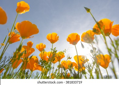 A patch of wild California Poppies basking in the spring sunlight.