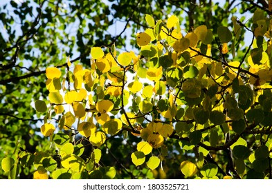 A patch of yellow aspen leaves in a tree filled with green leaves.