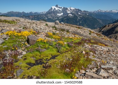 Patches of bright green moss, yellow and purple flowers cover rocky ridge on Mount Baker's Ptarmigan Ridge trail. In the distance, Mount Shuksan rises above other mountains of the North Cascades range