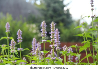 patchouli with flowers in summer