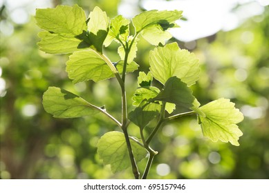 Patchouli green leaves on bokeh natural background.
