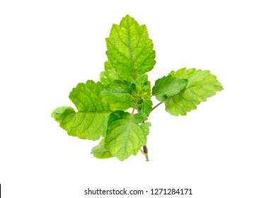 Patchouli oil leaves white background
