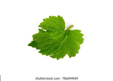 Patchouli, Patchouli, Patchouli,green leaves have medicine properties.