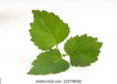 Patchouli, Patchouli, Patchouli,green leaves on a white background.