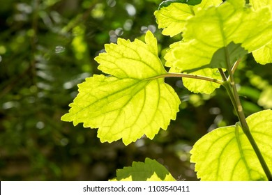 Patchouli, Patchouli, Patchouli,tree and green leaves have property medicine on natural background.