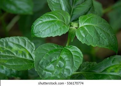 Patchouli (Pogostemon cablin) ist eine Pflanzenart der Gattung Pogostemon.