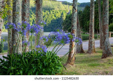 Path along the lake in Sete Cidades, Azores, Portugal with flowering agapanthus