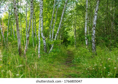 path amidst birch trees in the bright forest