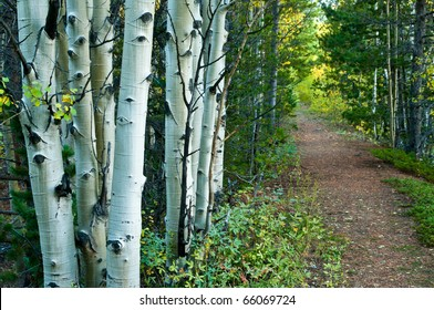 A Path In The Aspen Forest