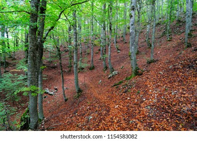 Path in the beech forest in the autumn period