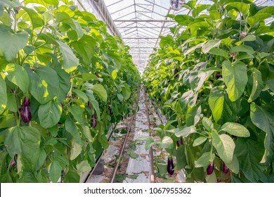 Path between two rows of tall aubergine plants in the glasshouse of a specialized Dutch aubergine nursery.