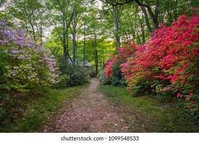 A path with blooming azaleas in a park
